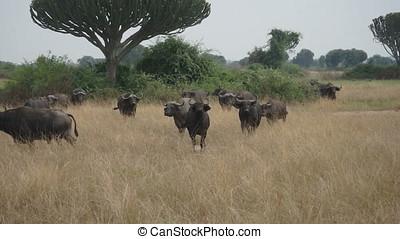 Cape buffalo in defensive stance, Queen Elizabeth National Park, Uganda