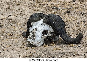 Cape Buffalo Skull Decomposing in the African Sun
