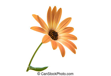 Cape daisies isolated on white background