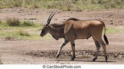 Cape Eland, taurotragus oryx, Male Scratching, Nairobi Park in Kenya, Masai Mara Park in Kenya, Real Time