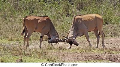 Cape Eland, taurotragus oryx, Males Fighting, Nairobi Park in Kenya, Masai Mara Park in Kenya, Real Time 4K