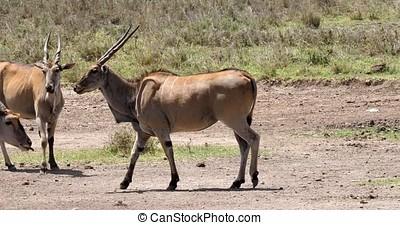 Cape Eland, taurotragus oryx, Nairobi Park in Kenya, Masai Mara Park in Kenya, Real Time