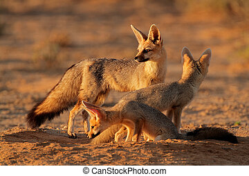 Cape fox family - Cape foxes (Vulpes chama) at their den in...