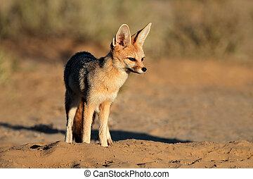 Cape fox in natural habitat - Cape fox (Vulpes chama) in...