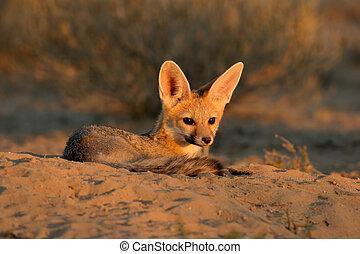 Cape fox (Vulpes chama) resting in front of burrow, Kalahari...