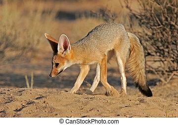 Cape fox (Vulpes chama) in front of burrow, Kalahari, South...