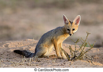 Cape fox (Vulpes chama) in early morning light, Kalahari desert, South Africa