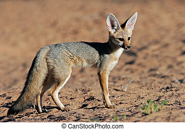 Cape fox (Vulpes chama), Kalahari desert, South Africa
