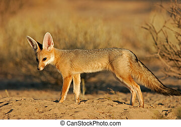 Cape fox (Vulpes chama), Kalahari, South Africa