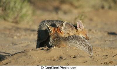 Cape foxes (Vulpes chama) at their den, Kalahari desert,...