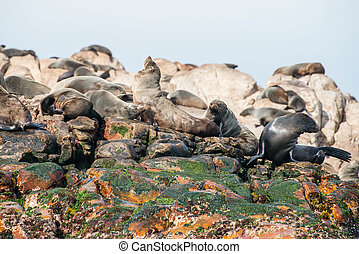 Cape fur seals in Gansbaai