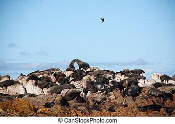 Cape fur seals on Geyser Rock