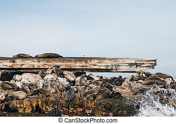 Cape fur seals on Prince Port shipwreck