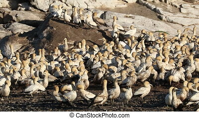 Cape gannet colony - Colony of breeding Cape gannets (Morus...