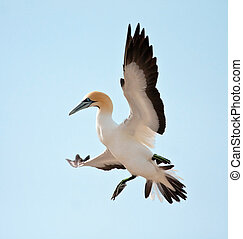 Cape Gannet comming in to land at a colony on a island