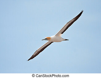 Cape Gannet flying against a blue sky