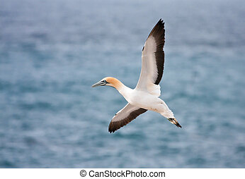 Cape Gannet Landing at the colony on a island