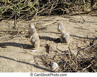 Cape Ground Squirrels