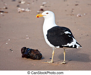Cape Gull eating food from the sea on the beach