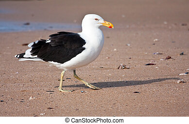 Cape Gull walking on the beach looking for food