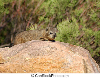 Cape Hyrax, or Rock Hyrax, (Procavia capensis) also known as the Dassie, wild in the Waterberg region, South Africa.