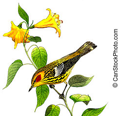 Cape May Warbler - Dendroica tigrina