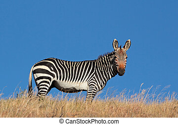 Cape Mountain Zebra (Equus zebra), against a blue sky, South...