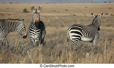 Cape Mountain Zebras (Equus zebra) in open grassland,...