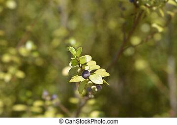 Cape myrtle branch - Latin name - Myrsine africana