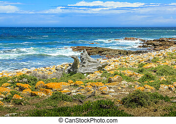 Cape of Good Hope - Beach with boulders and kelp in Cape of...