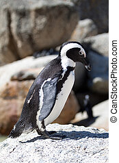 Penguin at Boulders Beach, South Africa