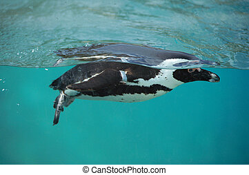 Close up of a black and white cape penguin swimming underwater