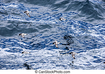 Cape petrel bird fly over the Antarctic Ocean
