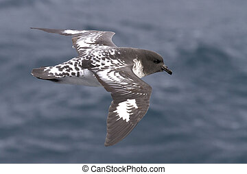 Cape pigeon flying over the southern ocean on a sunny day