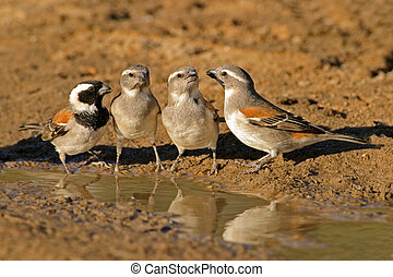 Cape sparrows (Passer melanurus) at the water, Kalahari, South Africa