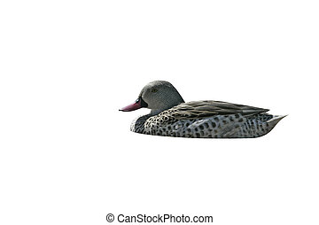 Cape teal, Anas capensis, single duck on water, Tanzania