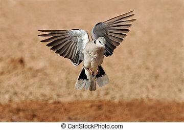 Cape turtle dove in flight - Cape turtle dove (Streptopelia...