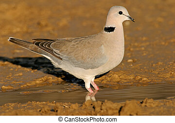 Cape turtle dove (Streptopelia capicola) drinking water,...