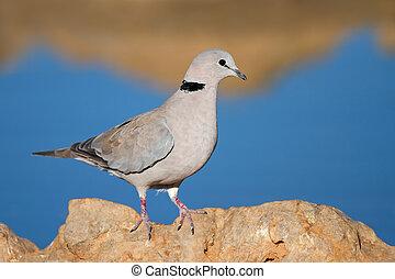 Cape turtle dove (Streptopelia capicola) perched on a rock,...