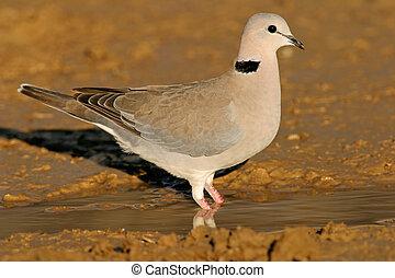 Cape turtle dove (Streptopelia capicola) drinking water, Kalahari, South Africa