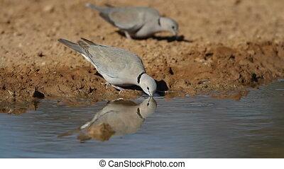 Cape turtle dove