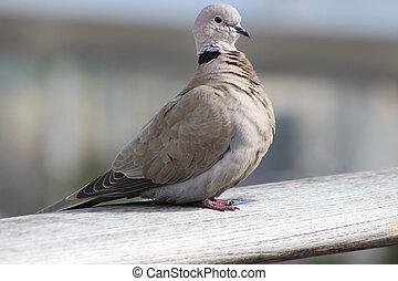 Cape Turtle Dove (Streptopelia capicola) - Beautiful Cape...