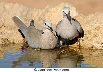 Cape turtle doves - Two Cape turtle doves (Streptopelia...