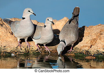 Cape turtle doves (Streptopelia capicola) drinking water, Kalahari desert, South Africa