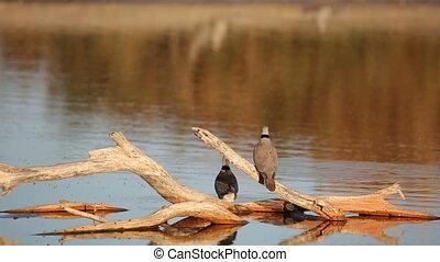 Cape turtle doves (Streptopelia capicola) drinking water,...