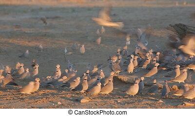 Cape turtle doves (Streptopelia capicola) gathering at a...