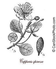 Caper bush, botanical vintage engraving