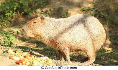 Capibara (Hydrochoerus hydrochaeris) large rodent eating in...