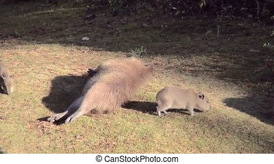 Capibara with three young piggs,