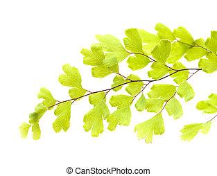 capillus-veneris, -, adiantum, flora, canaria, gran
